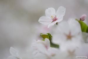 Kirschblüte weiß