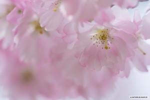 Krischblüten rosa drei