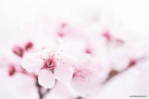 Kirschblüten rosa auf weiß