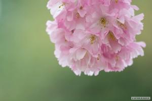 Kirschblüten rosa auf grün